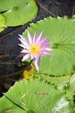 Color de rosa lilly Foto de archivo libre de regalías