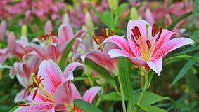 Color de rosa lilly en el jardín Foto de archivo libre de regalías