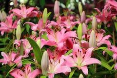 Color de rosa lilly en el jardín Fotografía de archivo libre de regalías