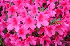 Color de rosa mexicano Fotos de archivo