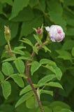 Color de rosa salvaje rosado y capullo de rosa en tronco que sube Foto de archivo libre de regalías