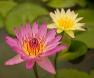 Color de rosa waterlily Fotografía de archivo libre de regalías
