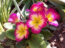 Color de rosa y amarillo Imagen de archivo libre de regalías
