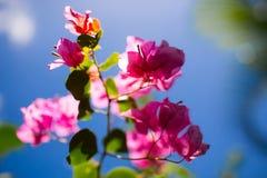 Color de rosa y azul Imagenes de archivo