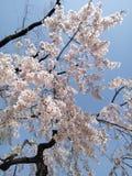Color de rosa y azul fotografía de archivo libre de regalías