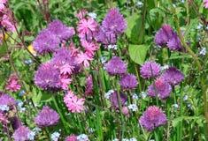Color de rosa y púrpura Fotografía de archivo libre de regalías