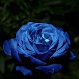 Color del añil de Rose Imagen de archivo libre de regalías