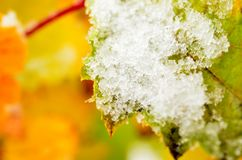 Color del arco iris en arbusto del redcurrant con nieve en último Círculo Polar Ártico Foto de archivo
