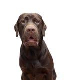 Color del chocolate de Labrador del retrato en un fondo blanco Fotos de archivo