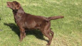 Color del chocolate de Labrador de la raza del perro metrajes