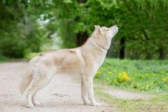 Color del gris del lobo Varón adulto La visión desde el lado Foto de archivo libre de regalías