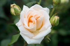 Color del melocotón de Rose Fotografía de archivo libre de regalías