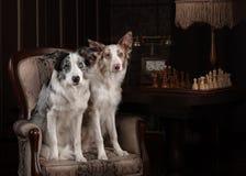 Color del merle del perro de dos borderes collie en estudio interior Fotos de archivo libres de regalías