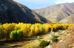Color del otoño de Altai, bosque de oro del abedul Imagenes de archivo