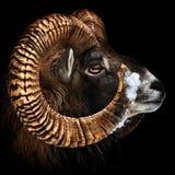 Color del retrato de Mouflon fotografía de archivo libre de regalías