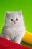 color den inhemska kattungen vit Royaltyfri Foto