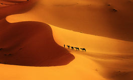 Color of the desert. Camel caravan on Merzouga dunes, Morocco Africa