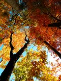 Detail photography of autumn trees from bottom view Royalty Free Stock Image