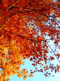 Beautiful autumnal photography of colored beech tree Stock Images