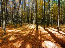 Beautiful autumnal beech forest Royalty Free Stock Photos
