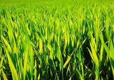 Color detail photography of fresh grain field. Royalty Free Stock Photography