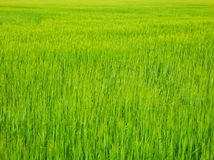Color detail photography of fresh grain field. Royalty Free Stock Photos