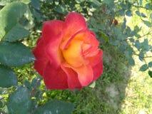 Color dual Rose fotografía de archivo