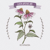 Color Echinacea aka purple coneflower sketch. Green apothecary series. Great for traditional or Ayurvedic medicine design Royalty Free Stock Images