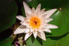 Color en colores pastel de la flor de loto del vintage al modelo y al textue creativos Fotografía de archivo libre de regalías
