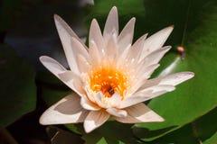 Color en colores pastel de la flor de Lotus al modelo y al textue creativos Fotos de archivo libres de regalías