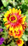 Color of Fall in Chicago. Close-up of a blooming flower at autumn in Chicago, Illinois. It is bright and colorful with a hint of yellow, red, pink, and orange stock photo