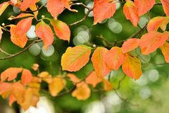 The Color of Fall. Dogwood tree in it's fall colors Royalty Free Stock Images