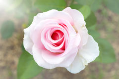 Color filter and blur background. Pink rose. Stock Photo