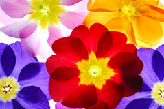 Color flowers. Color primula flowers on light box Royalty Free Stock Photo