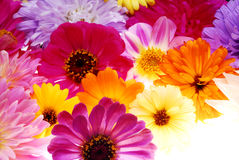 Color flowers Royalty Free Stock Photo