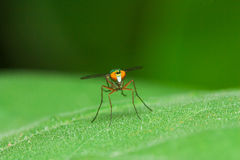 Color fly on green leaf face Royalty Free Stock Photo