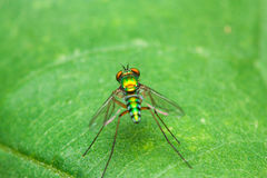 Color fly on green leaf front Royalty Free Stock Images