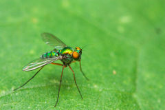 Color fly on green leaf on side Royalty Free Stock Photography
