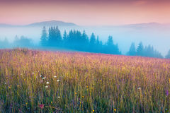 Color foggy morning on a meadow with fresh grass Stock Photos