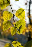 Color of the foliage of trees. Changing the color of the foliage of trees in the aun season, sunny weather leaves are yellow green stock photo