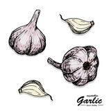 Color garlic in sketch style Royalty Free Stock Photography