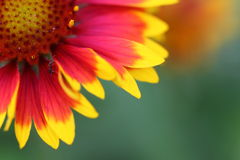 Color gorgeous flower royalty free stock images
