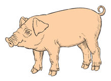 Color hand drawing of domestic pig Royalty Free Stock Images