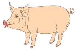 Color hand drawing of domestic pig Stock Image