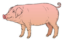 Color hand drawing of domestic pig Stock Photo