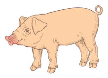 Color hand drawing of domestic pig Stock Images