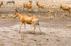Color Hartebeest Royaltyfri Bild