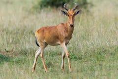 Color Hartebeest i savann av Kenya Arkivbilder