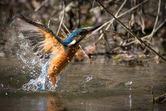 Color hermoso de la consumición del martín pescador azul y marrón Imagen de archivo libre de regalías
