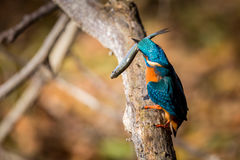 Color hermoso de la consumición del martín pescador azul y marrón Fotos de archivo